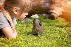 guinea-pig-792524__180
